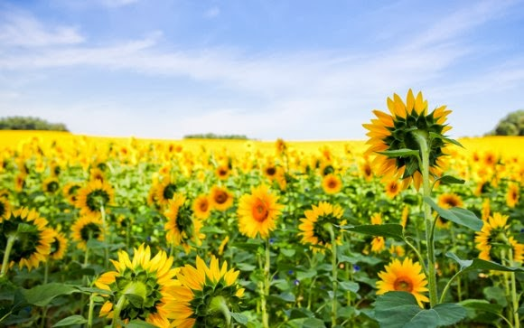 Sun Flowers High Resolution Stock Photo