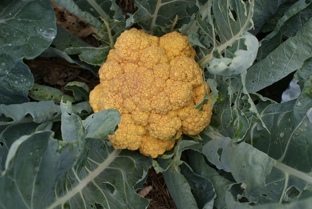 20110727+Cheddar+Cauliflower.jpg