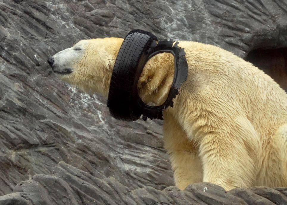 Polar bear playing with used tire (9 pics), cute polar bear picture, zoo polar bears, funny polar bears