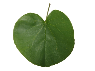 The world 180 s tree species heart shaped tree leaves