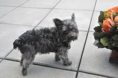 Missing Small Dog Alert: NY, White Plains ~ Missing Yorkie-Poo
