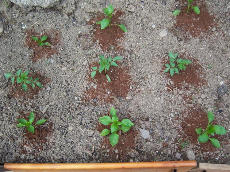 Fotos de nuestro huerto for Asociacion de cultivos tomate