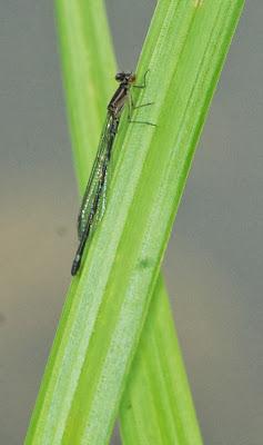 Eastern Forktail (Ischnura verticalis) f
