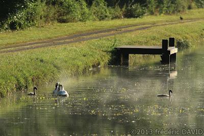 cygne rivière loing canal matin seine-et-marne
