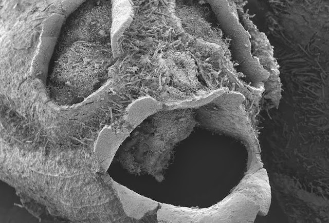 Under an electron microscope the snapdragon pod looks, if anything, even more supernatural.