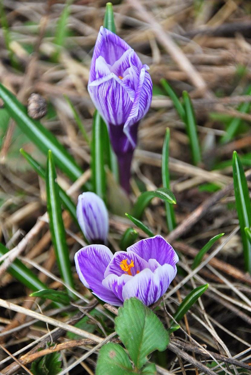 Весенние цветы - крокусы
