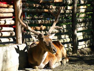 Cerb Cervus elaphus Deer Hirsche Cervidae Ελάφι