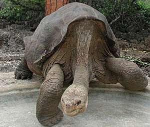 Tartaruga gigante será embalsamada