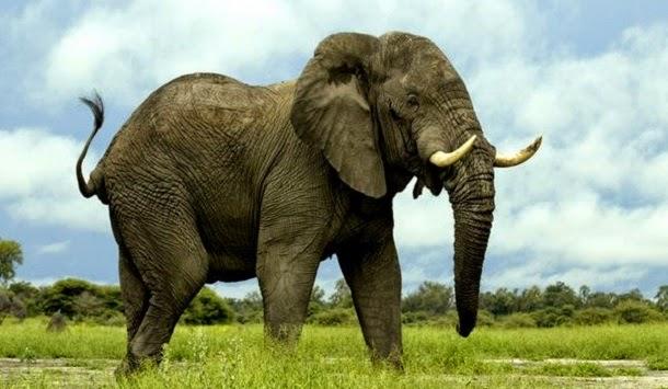 20 fatos interessantes sobre elefantes