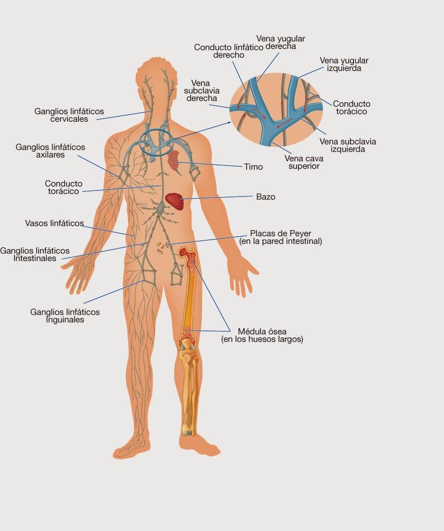 Increíble Ganglios Linfáticos Axilares Disección Anatomía ...