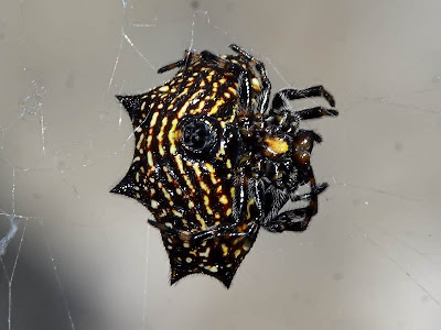 Spiny-backed Orbweaver