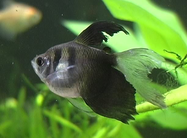 Nature Lover: Black Wido fish (Black tetra)