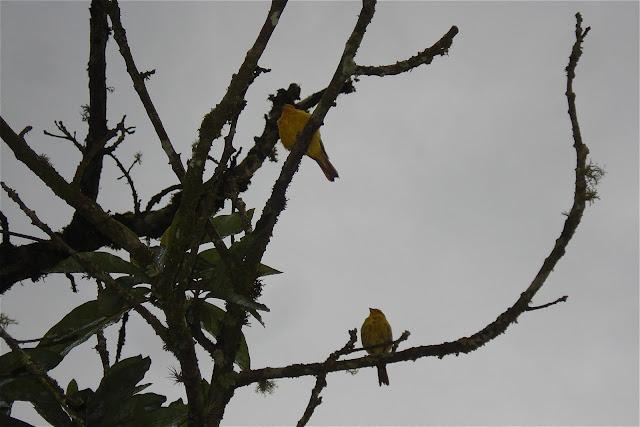 Canários em Visconde de Mauá, foto de Marcelo Migliaccio