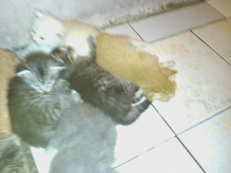 Jual Kitten Persia Cirebon Pecinta Kucing Cirebon