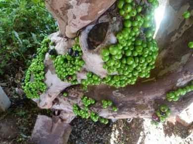 Pokok yang berbuah pada batang-Jabuticaba