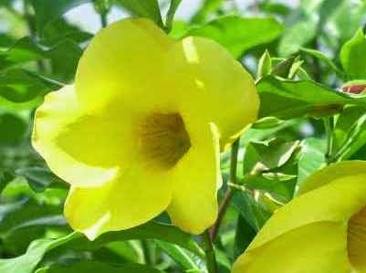 13 Manfaat Bunga Terompet Bagi Kesehatan