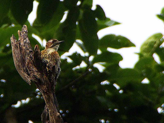 bird, Japanese Pygmy Woodpecker