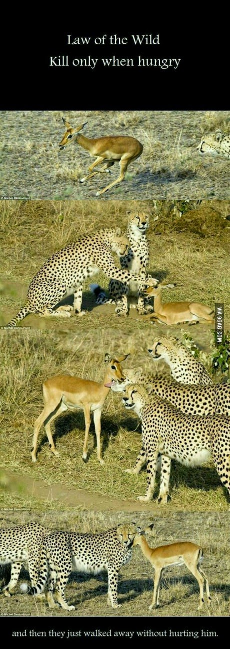 cheetah playing with dear