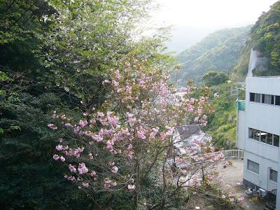 宮崎県・日南市 鵜戸神宮 八重桜