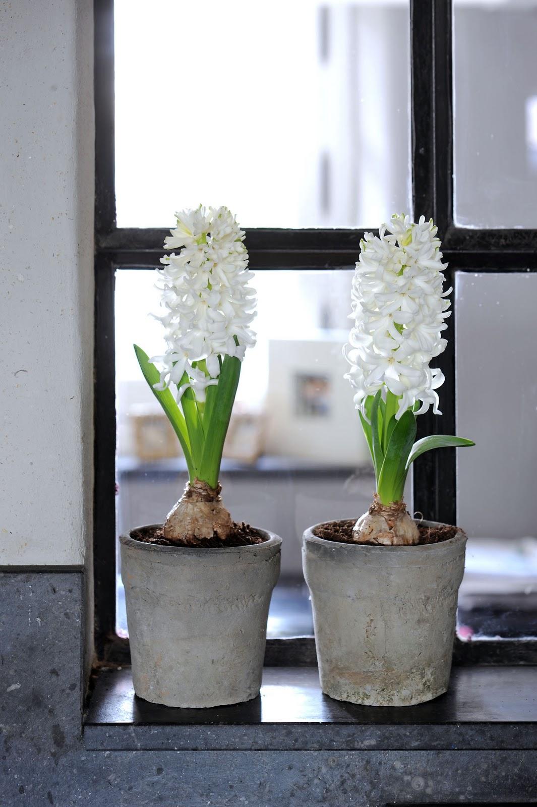 Jardinitis planta del mes jacinto - Jacinto planta cuidados ...