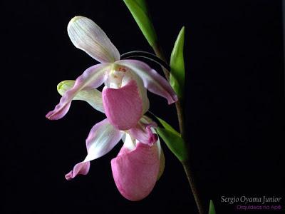 Orquídea Phragmipedium Sedenii