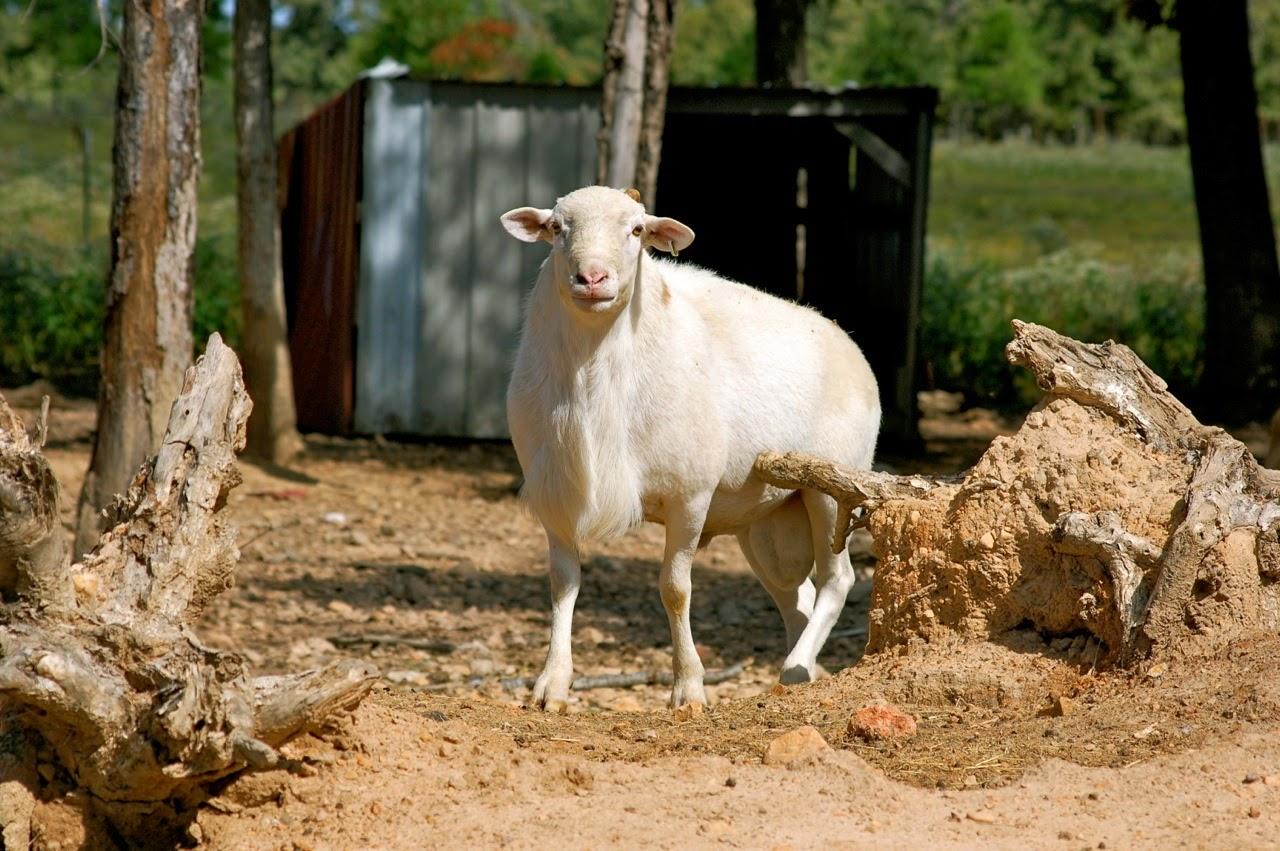 Katahdin Flock Sire