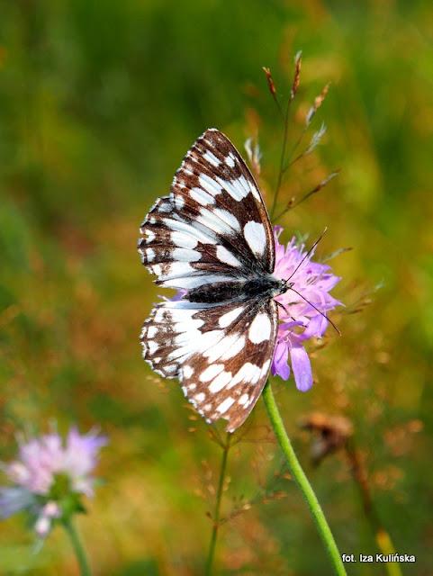 motyle , motylek , motyl , podlasie , owady ,  wycieczka , łąka