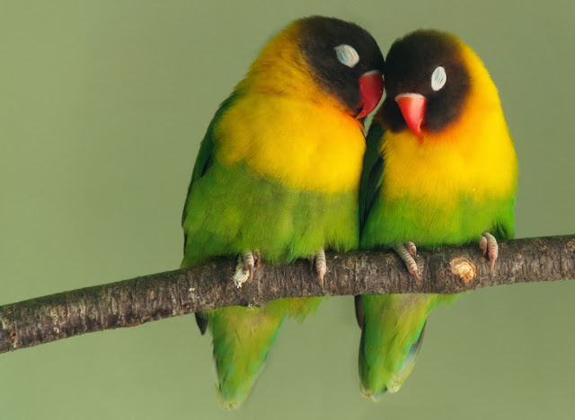rare birds,love birds,funny movie