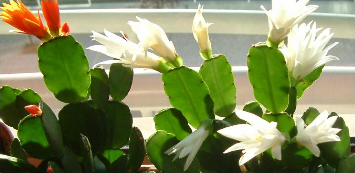 Plantas de interior - Hatiora Gaertneri