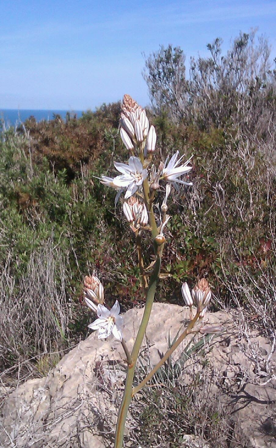 http://www.zazzle.co.uk/asphodel_flower_on_hills_above_cullera-137556564713028457?rf=238977740256437049