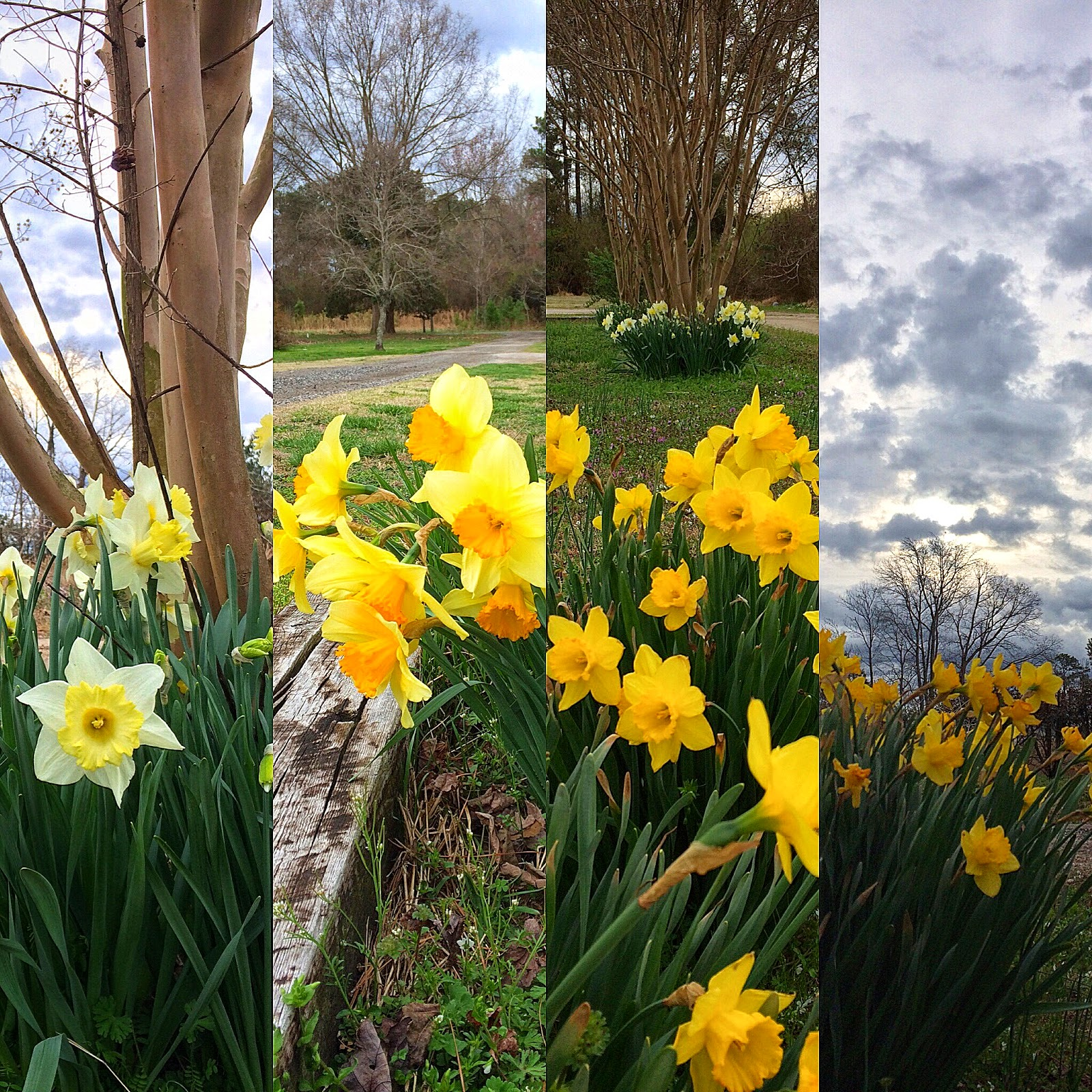 daffodils via foobella.blogspot.com