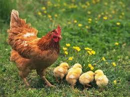 Cara Beternak Ayam Kecil Kecilan