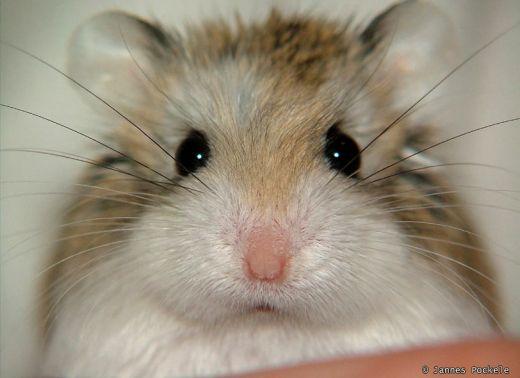 Robo hamster as an adult