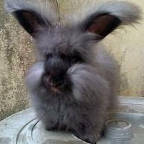 Daftar Jenis Kelinci yang Paling Dicari untuk Dipelihara
