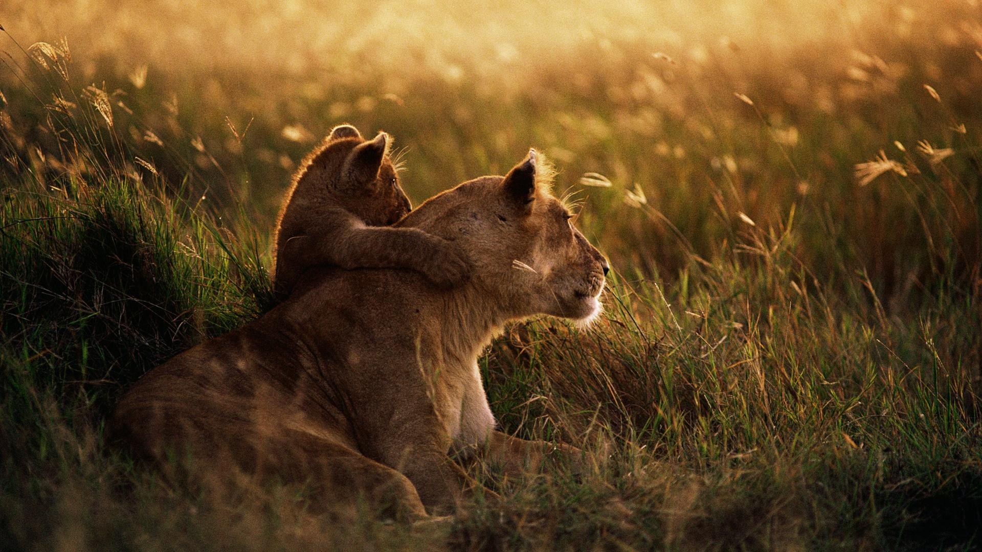http://1.bp.blogspot.com/-30fyRNg091U/UGmboWIVzuI/AAAAAAAALDc/12AqaOmJ7mQ/s0/african-lion-1920x1080.jpg