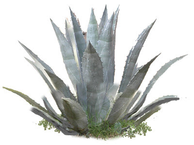 The many uses of agave