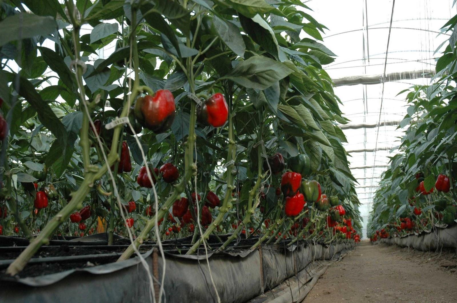 Invermatica plantas cultivadas for Plantas para invernadero