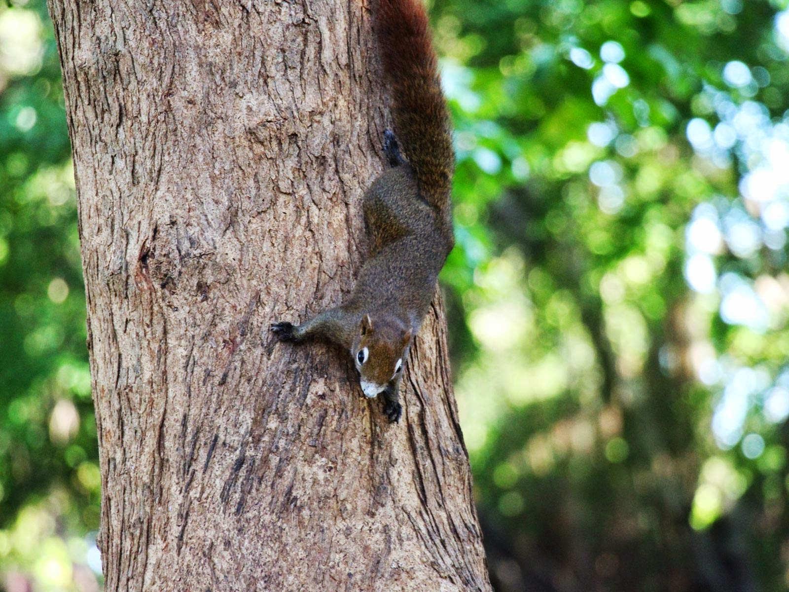 ecureuil thailande