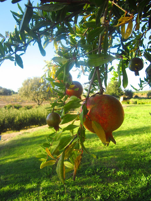 pomegranate hanging from a tree in Santa Ynez valley