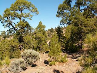 Pinus canariensis - Pino canario o Pino de Canarias