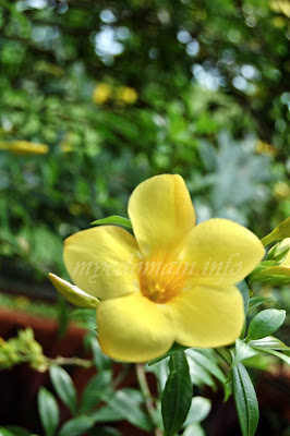 Simplymarrimye's Yellow is the Color of MIND and Intellect / Golden Trumpet (Allamanda Cathartica) - image 1