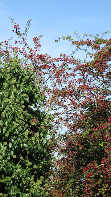 Tree tops showing bright red haws (hawthorn berries) and ivy flowers against a blue sky.