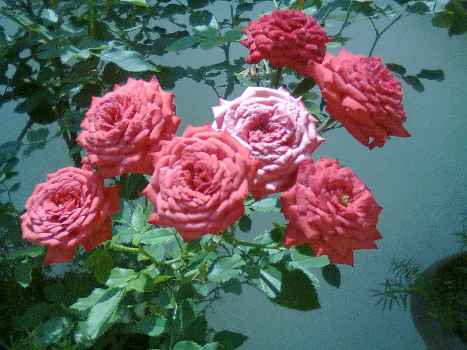 Flores y plantas hermosas rosas - Rosas rosas hermosas ...