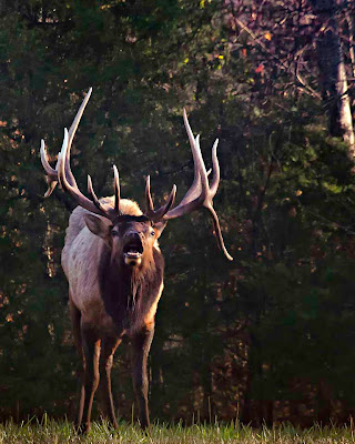 "Trophy Bull Elk, the ""Boxley Stud"""