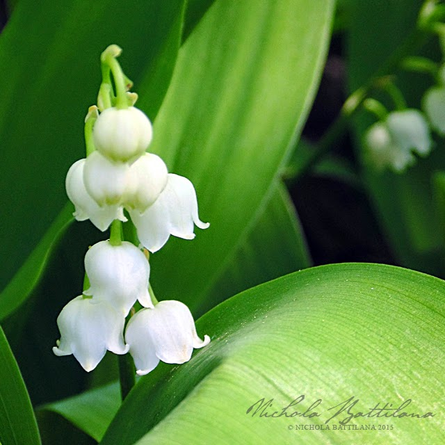Lily of the Valley at Pixie Hill - Nichola Battilana