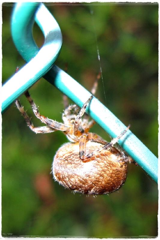 Esprit de jardin peire diad me ou araign e porte croix araneus diadematus - Araignee des jardins en 6 lettres ...