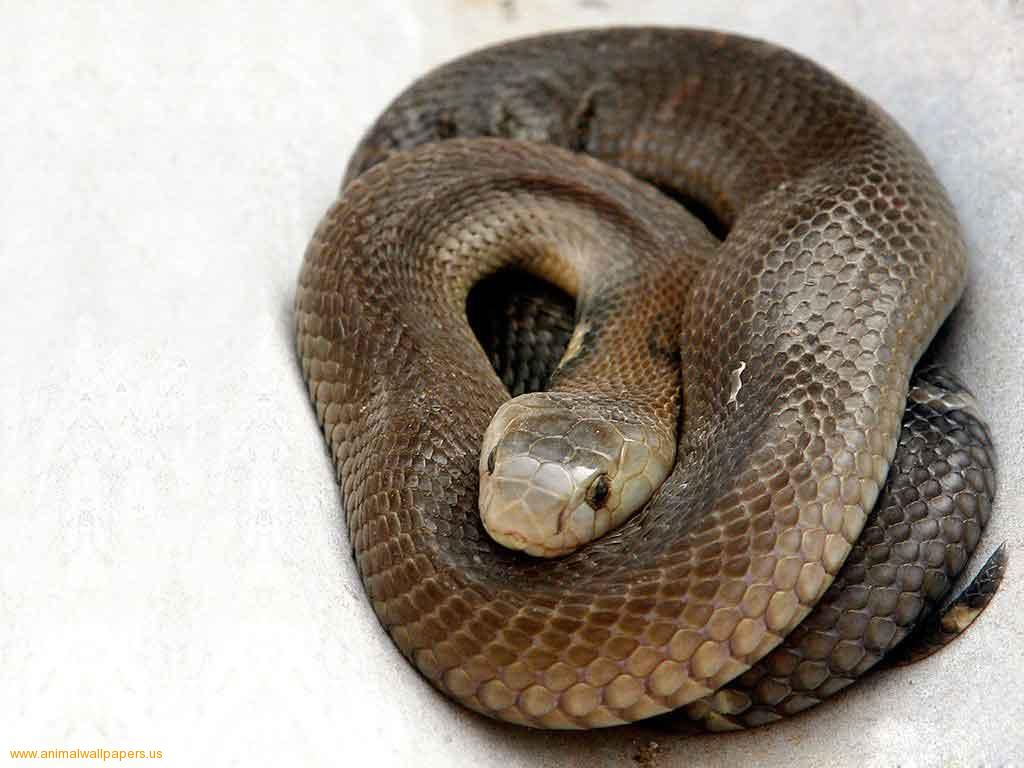 black mamba The black mamba (dendroaspis polylepis) is africa's largest venomous snake and also one of its most feared this species is also o.