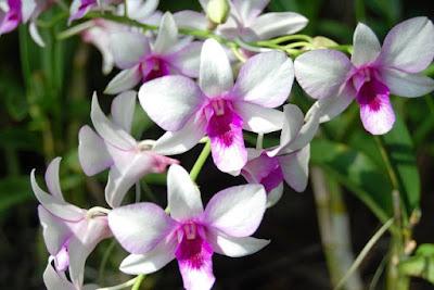 Bunga Tercantik di Dunia-Anggrek Putih Ungu
