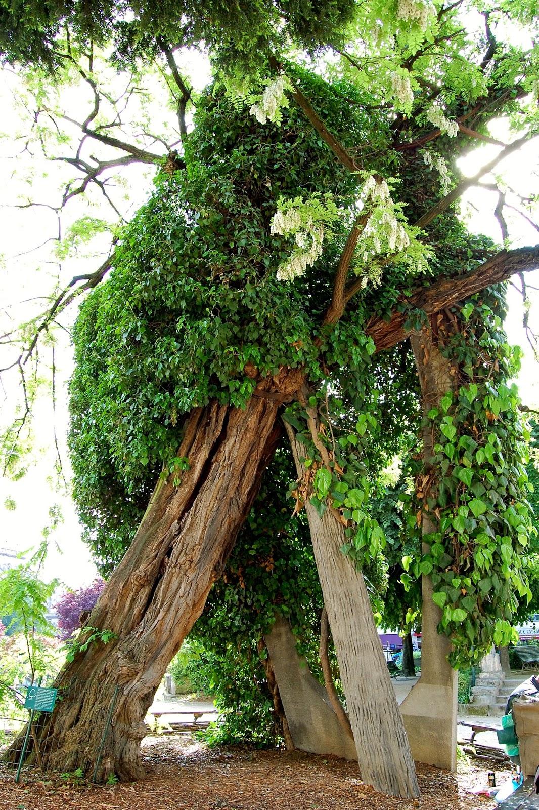 Concrete pillars support the oldest tree in Paris; locust tree; Square Rene Viviani