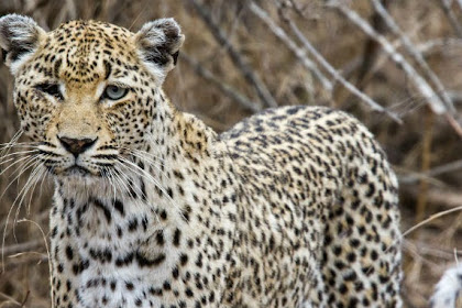 Wanita Paruh Baya Bunuh Macan Tutul Hanya dengan Sekop